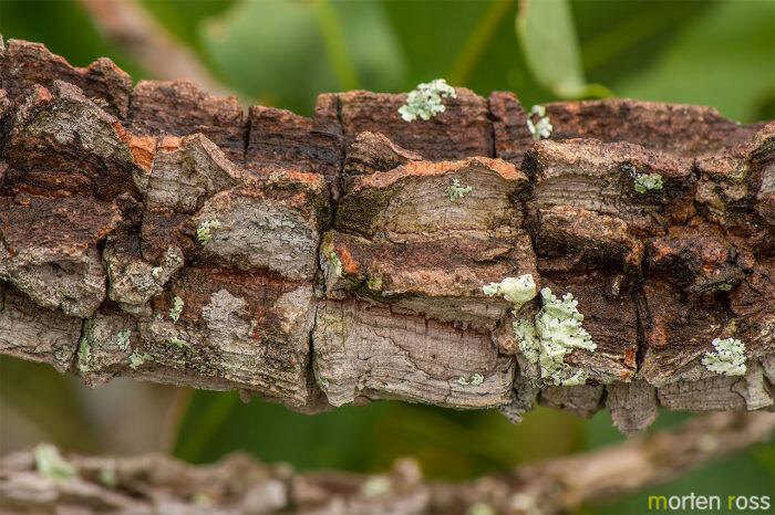 Ouratea spectabilis