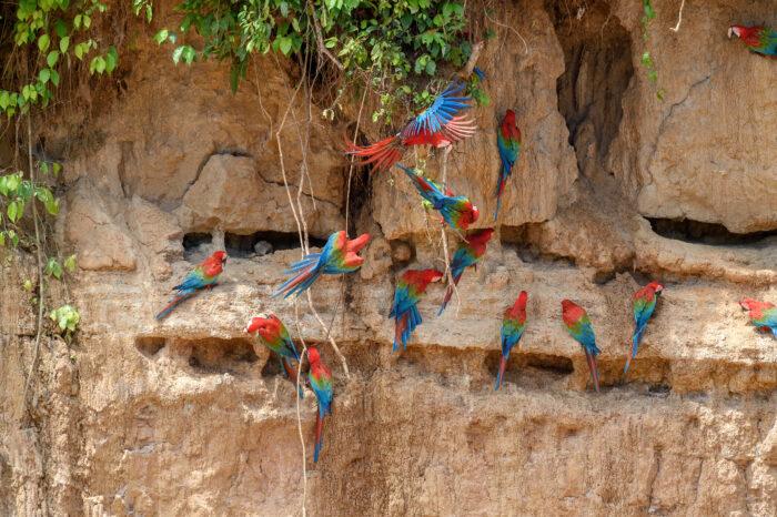 Red-and-green Macaw (Ara chloroptera)