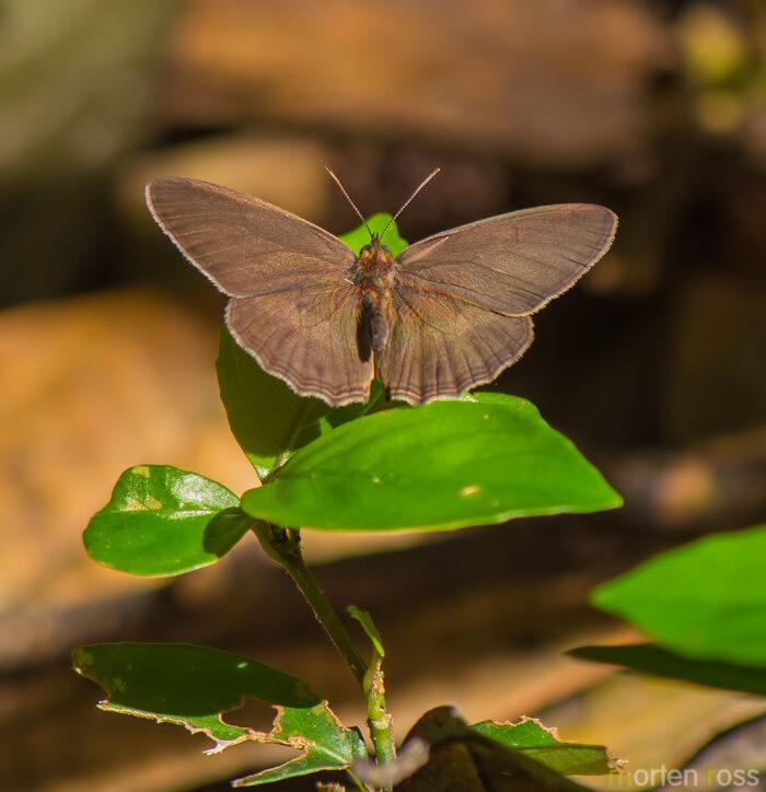 ARCC lepidoptera 02