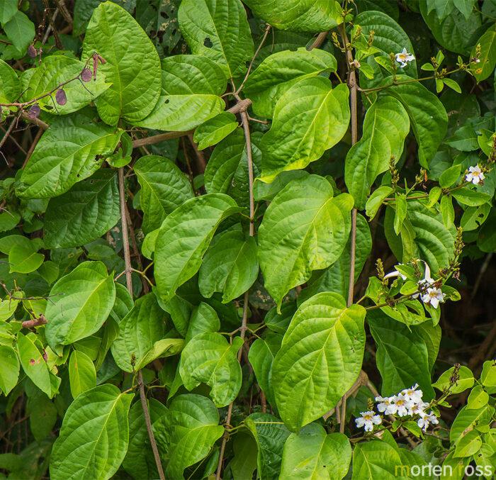 ARCC plant 05 (Bignoniaceae)
