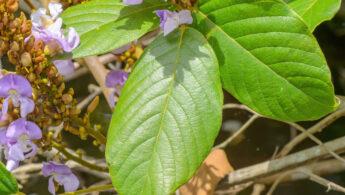 Dioclea grandiflora