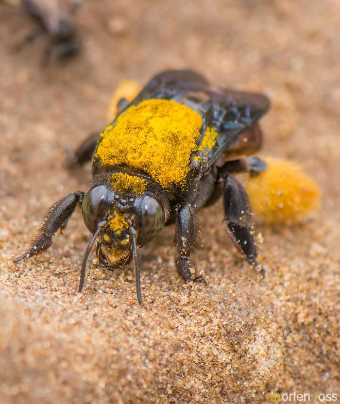 ARCC bee 02
