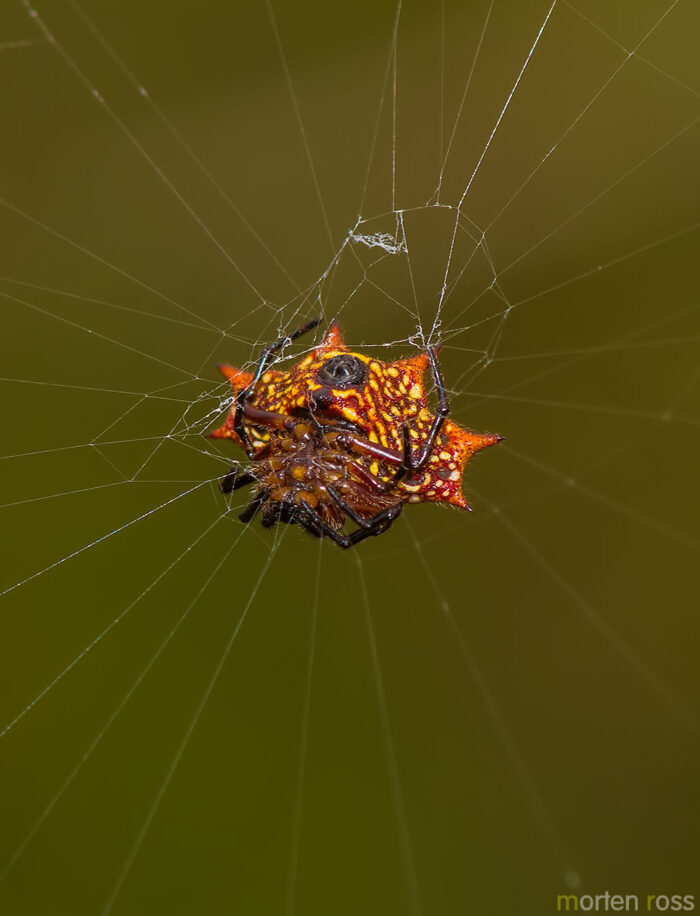 Spiny orb-weaver (Gasteracantha cancriformis)