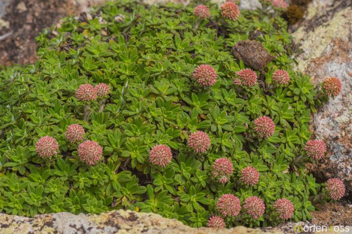 Libinhania rosulata