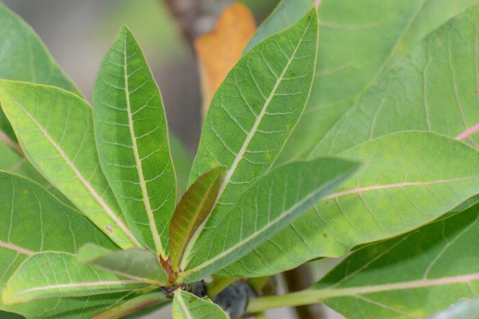 Jatropha unicostata