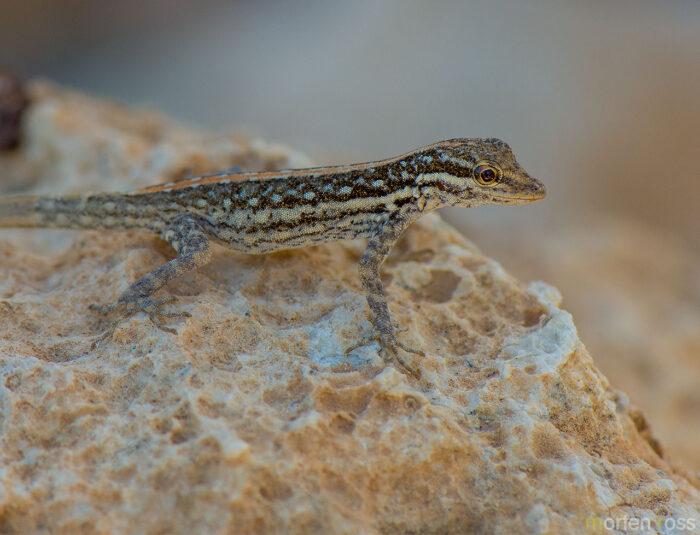 Socotra Rock Gecko (Pristurus sokotranus)