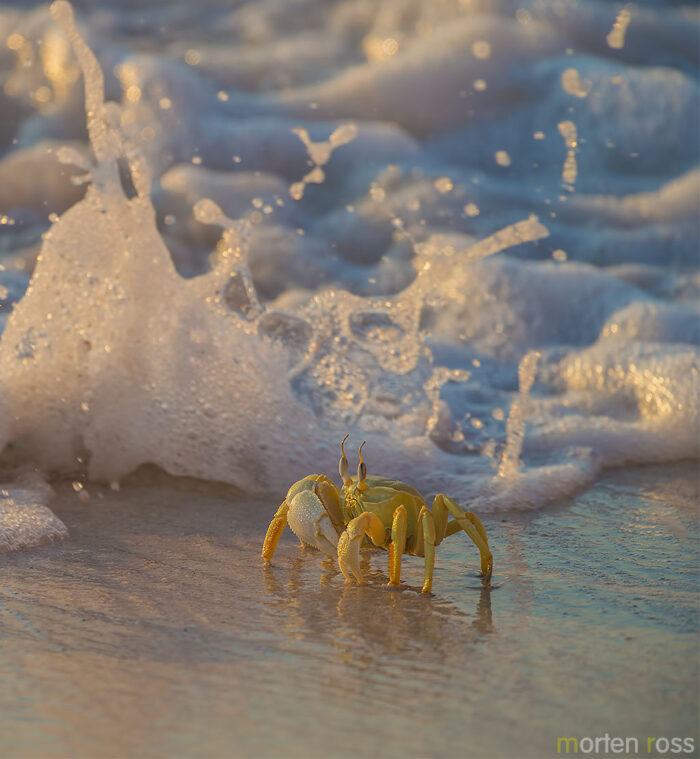 Horn-eyed ghost crab (Ocypode ceratophthalma)
