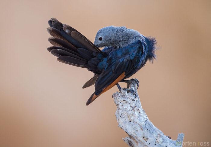 Somali starling (Onychognathus blythii)