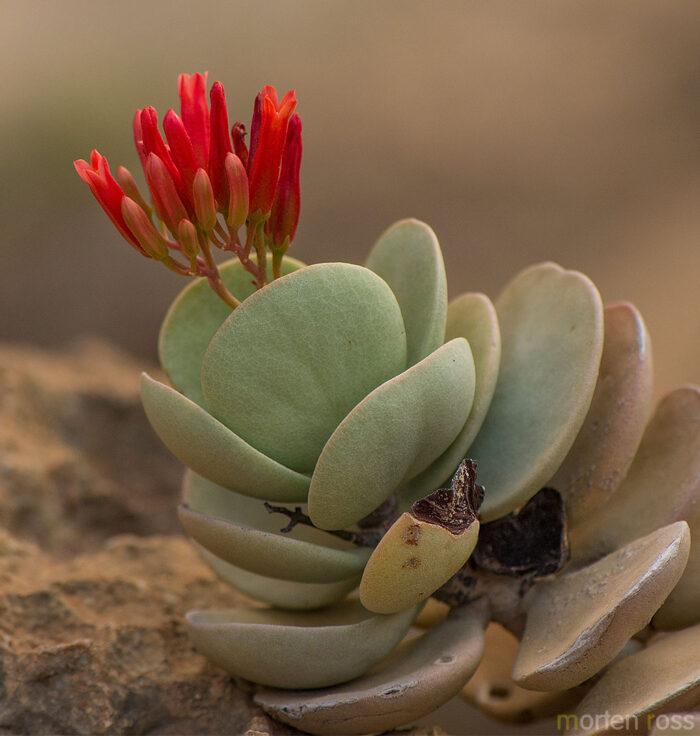 Kalanchoe farinacea