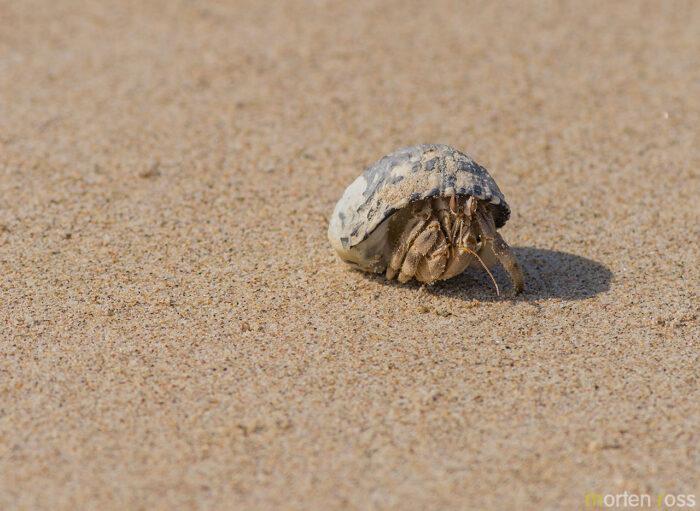 Socotra hermit crab