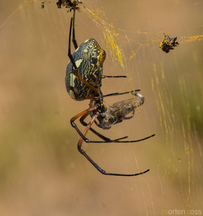 Red-legged Golden Orb-web Spider (Nephila sumptuosa)