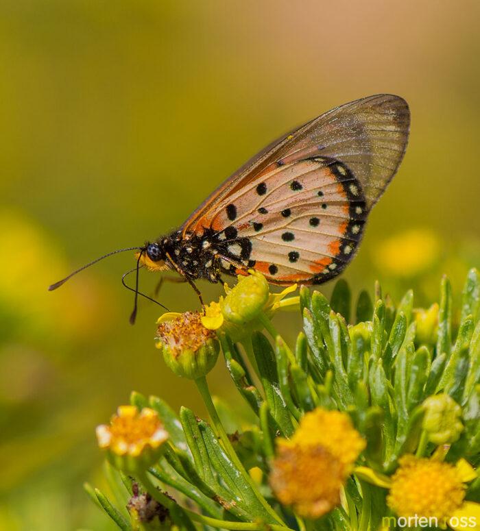 Glass-Tip Acraea (Acraea neobule socotrana)