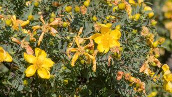 Hypericum balfourii