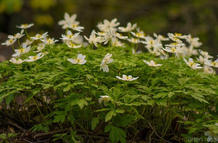 Hvitveis (Anemone nemorosa)