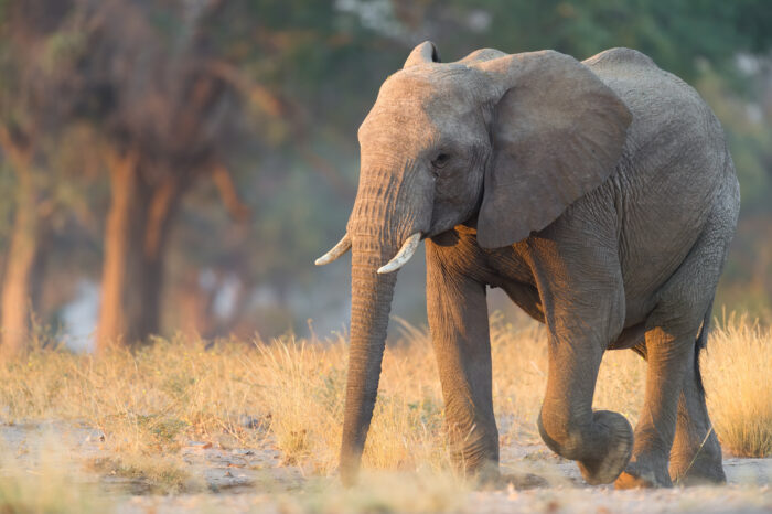 Savannah Elephant (Loxodonta africana)