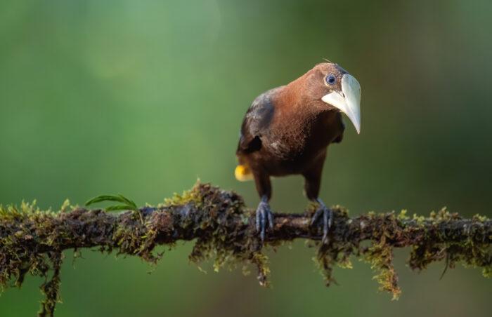 chestnut-headed oropendola (Psarocolius wagleri)