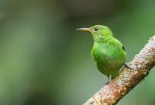Green honeycreeper (Chlorophanes spiza)
