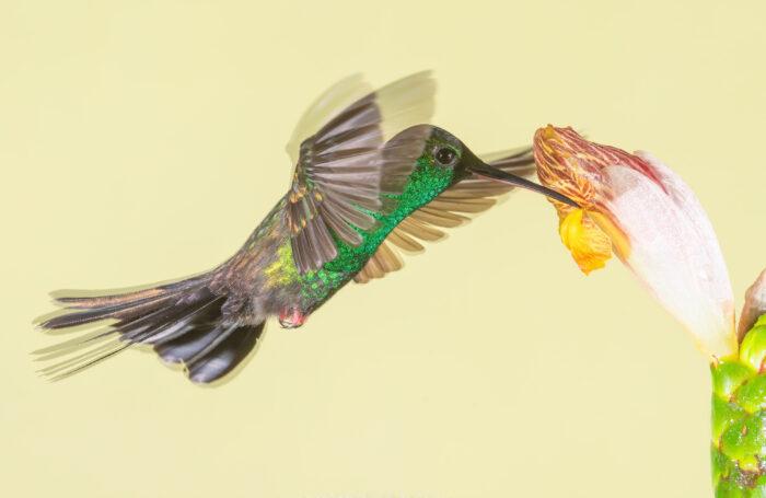 Bronze-tailed Plumeleteer (Chalybura urochrysia)