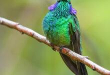 Lesser Violetear (Colibri cyanotus)
