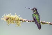Talamanca Hummingbird (Eugenes spectabilis)