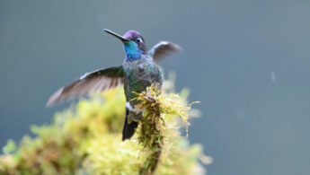 Rivoli's hummingbird (Eugenes fulgens)