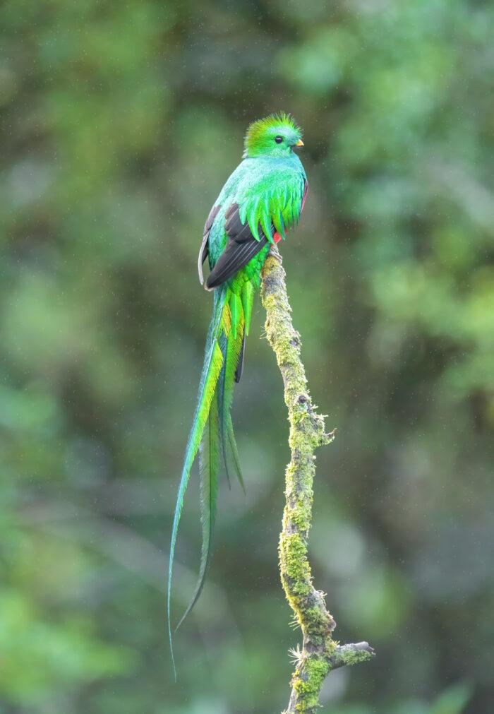 Resplendent quetzal (Pharomachrus mocinno)