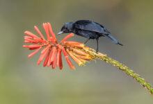 Black Flowerpiercer (Diglossa humeralis)