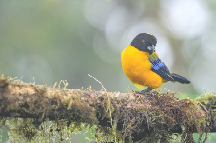 Black-chinned Mountain-Tanager (Anisognathus notabilis)
