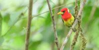 Red-headed Barbet (Eubucco bourcierii)