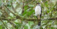 Bicolored Hawk (Accipiter bicolor)