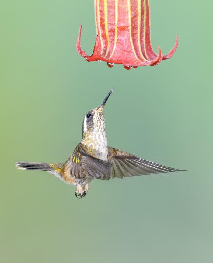 Speckled Hummingbird (Adelomyia melanogenys)