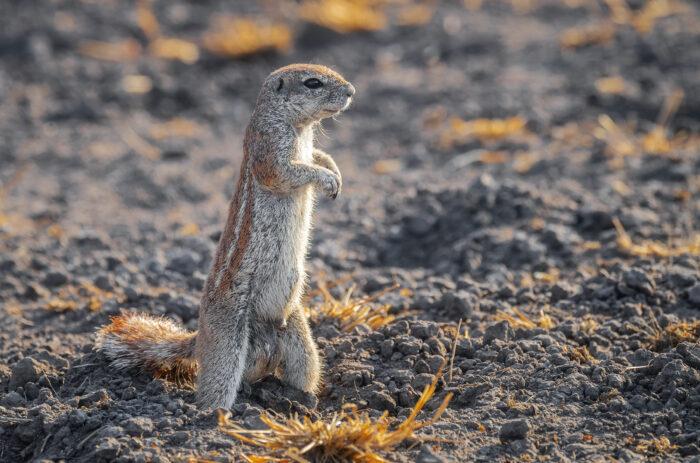 South African Ground Squirrel (Geosciurus inauris)