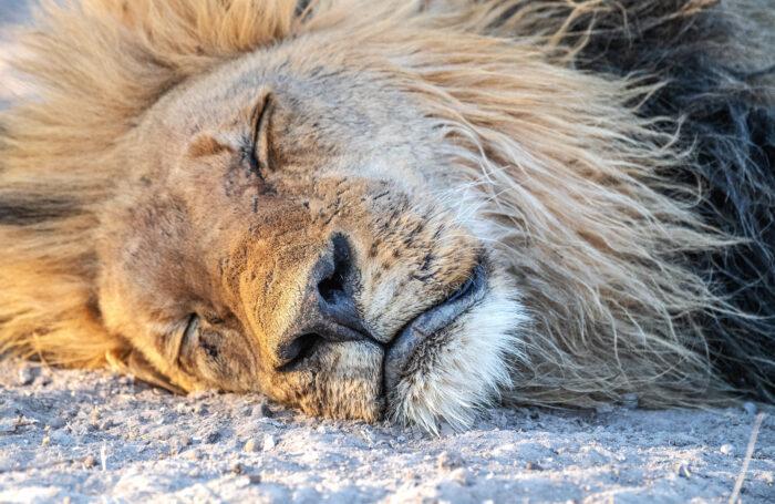 Southern Lion (Panthera leo ssp. melanochaita)