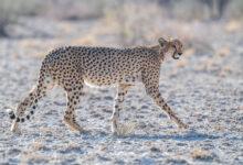 Southern and Eastern African Cheetah (Acinonyx jubatus ssp. jubatus)