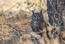 Spotted Eagle-Owl (Bubo africanus)