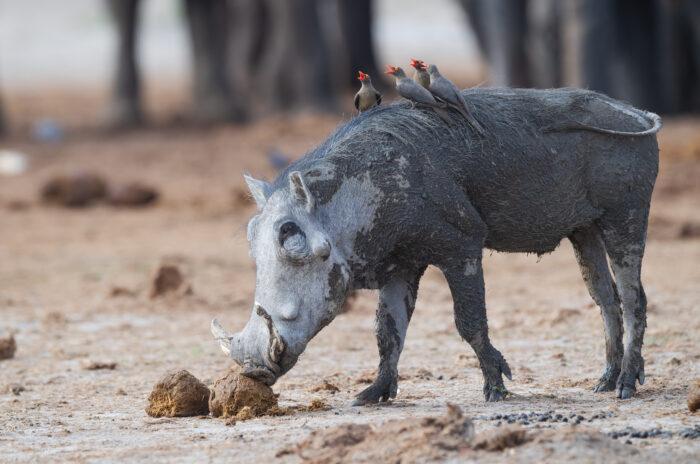 Southern Warthog (Phacochoerus africanus ssp. sundevallii)