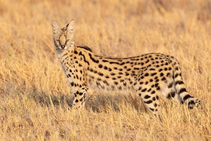 Southern Serval (Leptailurus serval ssp. serval)