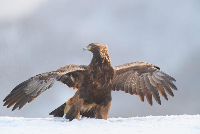Kongeørn   Golden Eagle (Aquila chrysaetos)