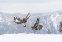 Kongeørn | Golden Eagle (Aquila chrysaetos)