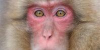 Japanese Macaque (Macaca fuscata)