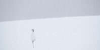 Red-crowned Crane (Grus japonensis)
