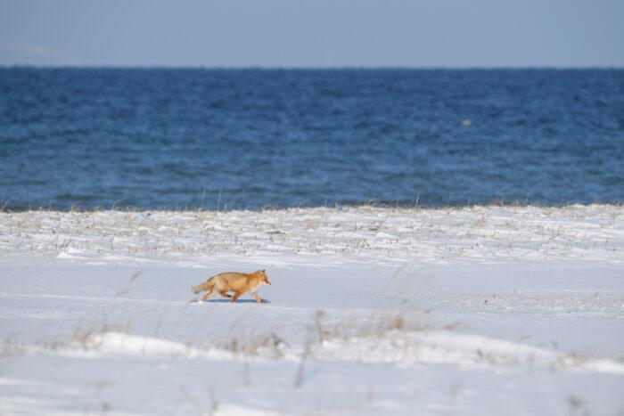 Hokkaido Red Fox (Vulpes vulpes ssp. schrencki)