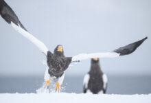 Steller's Sea-Eagle (Haliaeetus pelagicus)