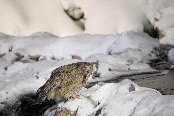 Blakiston's Fish-Owl (Ketupa blakistoni)