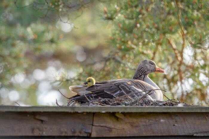 Grågås | Greylag Goose (Anser anser)