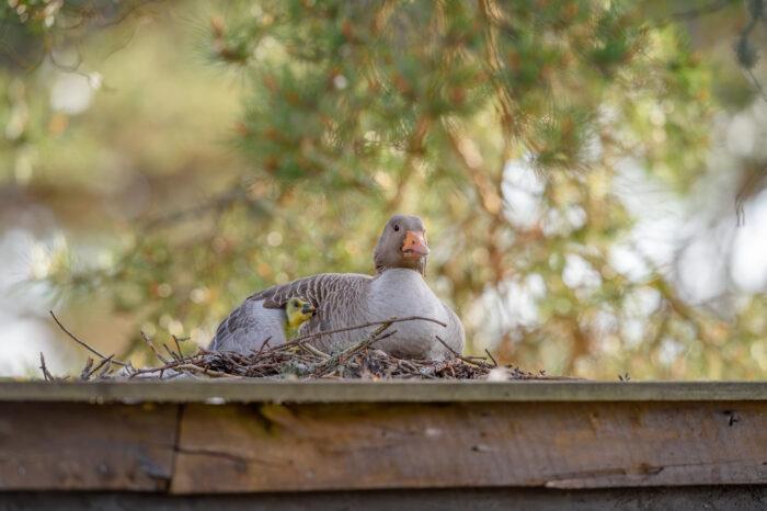 Grågås – Greylag Goose (Anser anser)