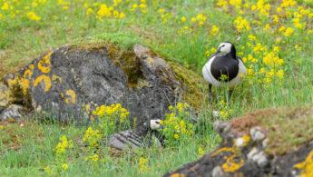 Hvitkinngås - Barnacle goose (Branta leucopsis)