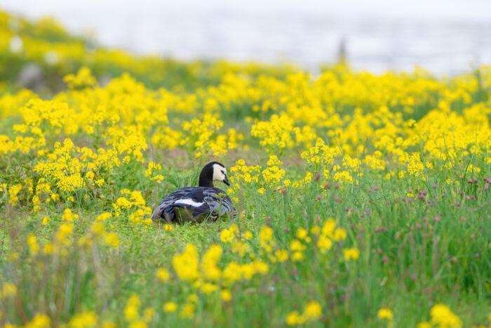 Hvitkinngås   Barnacle goose (Branta leucopsis)