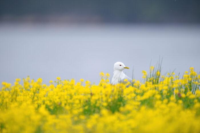 Fiskemåke | Mew gull (Larus canus)