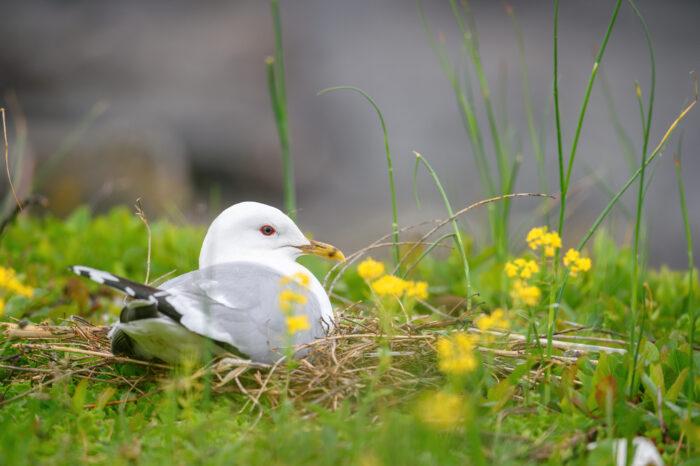 Fiskemåke   Mew gull (Larus canus)